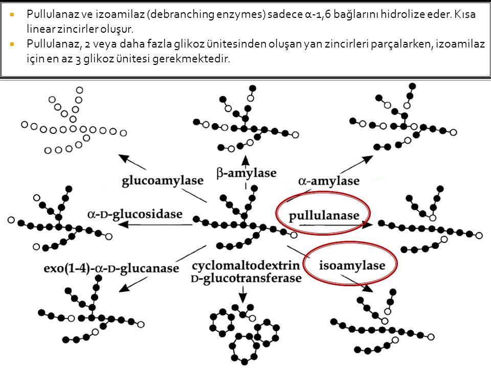 Pullulanaz ve izoamilaz (debranching enzymes) sadece α-1,6 bağlarını hidrolize eder. Kısa linear zincirler oluşur.