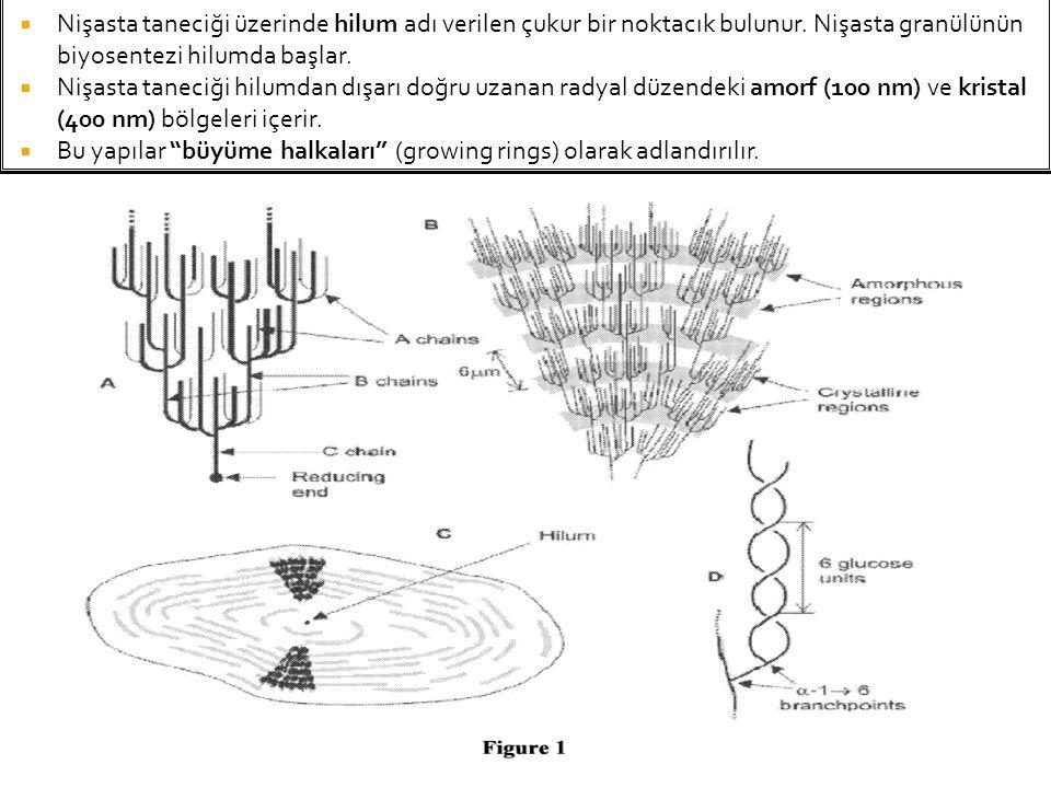 Nişasta taneciği üzerinde hilum adı verilen çukur bir noktacık bulunur