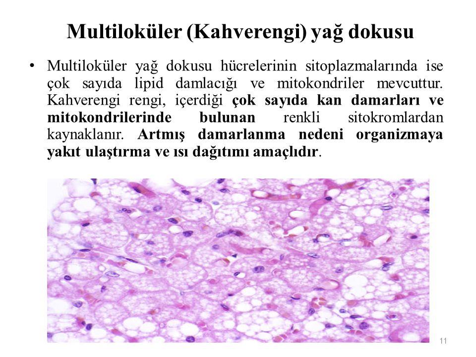 Multiloküler (Kahverengi) yağ dokusu