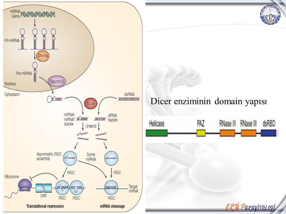 Dicer enziminin domain yapısı