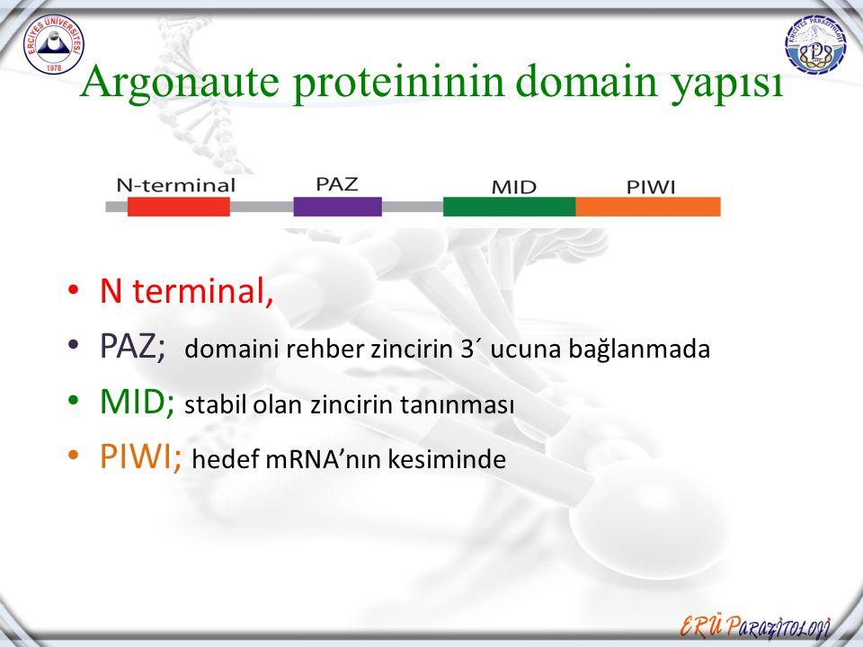 Argonaute proteininin domain yapısı