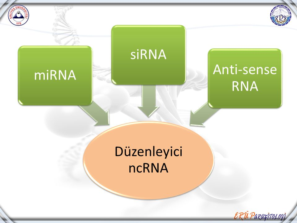 Düzenleyici ncRNA miRNA siRNA Anti-sense RNA