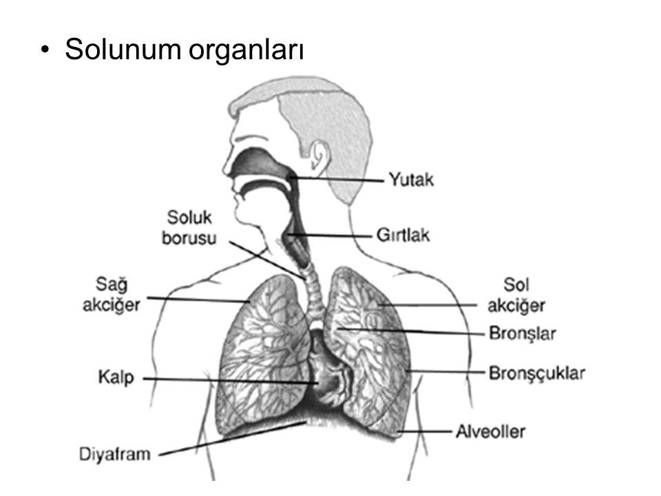 Solunum organları