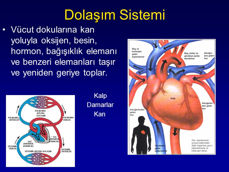 Dolaşım Sistemi Vücut dokularına kan yoluyla oksijen, besin, hormon, bağışıklık elemanı ve benzeri elemanları taşır ve yeniden geriye toplar.