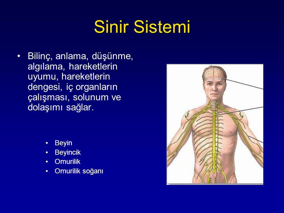 Sinir Sistemi Bilinç, anlama, düşünme, algılama, hareketlerin uyumu, hareketlerin dengesi, iç organların çalışması, solunum ve dolaşımı sağlar.