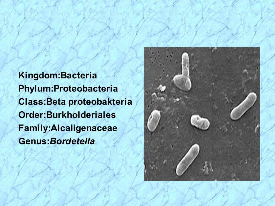 Kingdom:Bacteria Phylum:Proteobacteria. Class:Beta proteobakteria. Order:Burkholderiales. Family:Alcaligenaceae.