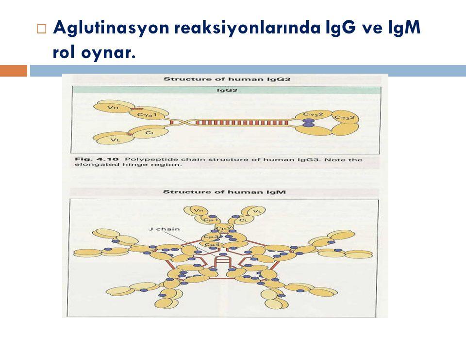 Aglutinasyon reaksiyonlarında IgG ve IgM rol oynar.