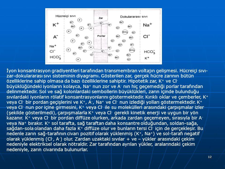 İyon konsantrasyon gradiyentleri tarafından transmembran voltajın gelişmesi.