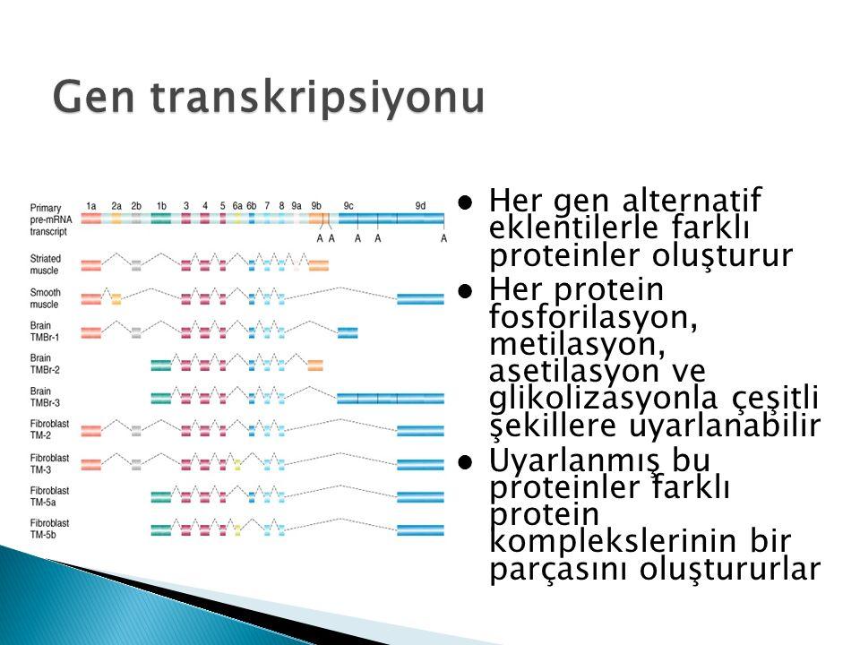 Gen transkripsiyonu Her gen alternatif eklentilerle farklı proteinler oluşturur.