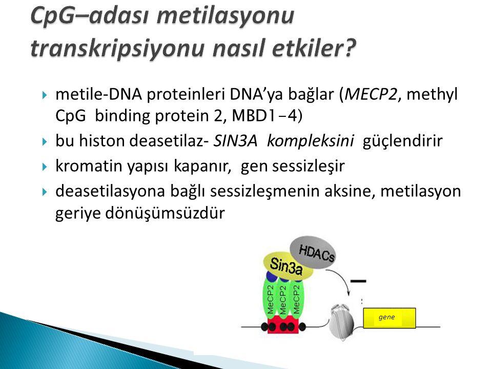 CpG–adası metilasyonu transkripsiyonu nasıl etkiler
