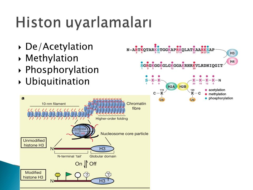Histon uyarlamaları De/Acetylation Methylation Phosphorylation