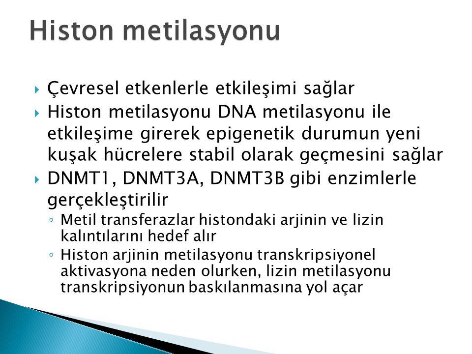 Histon metilasyonu Çevresel etkenlerle etkileşimi sağlar