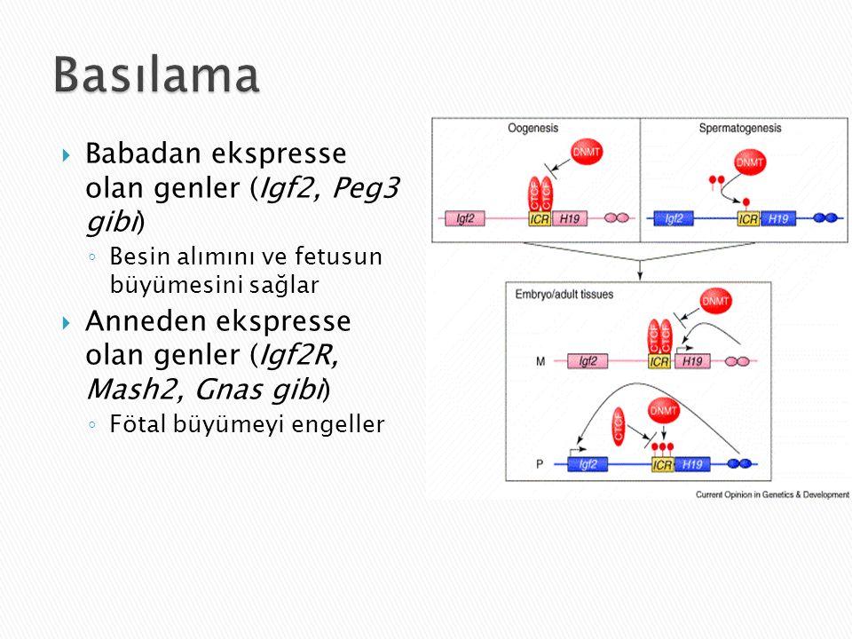 Basılama Babadan ekspresse olan genler (Igf2, Peg3 gibi)