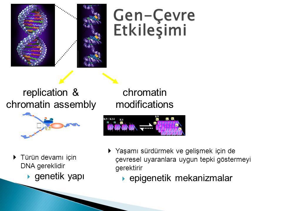 Gen-Çevre Etkileşimi replication & chromatin assembly chromatin
