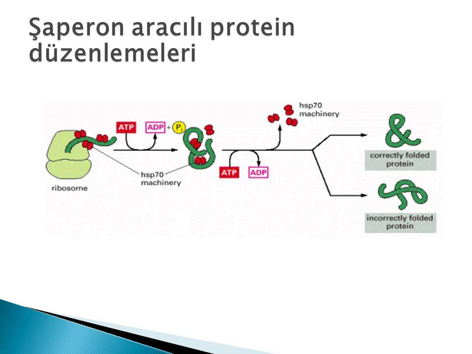 Şaperon aracılı protein düzenlemeleri
