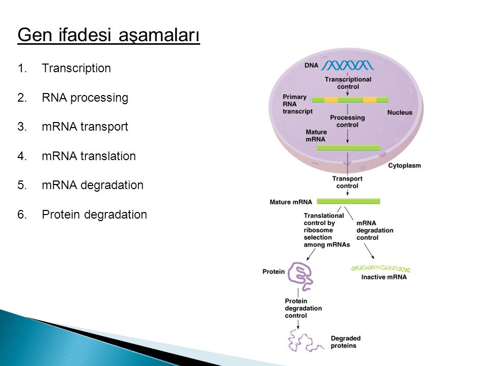 Gen ifadesi aşamaları Transcription RNA processing mRNA transport