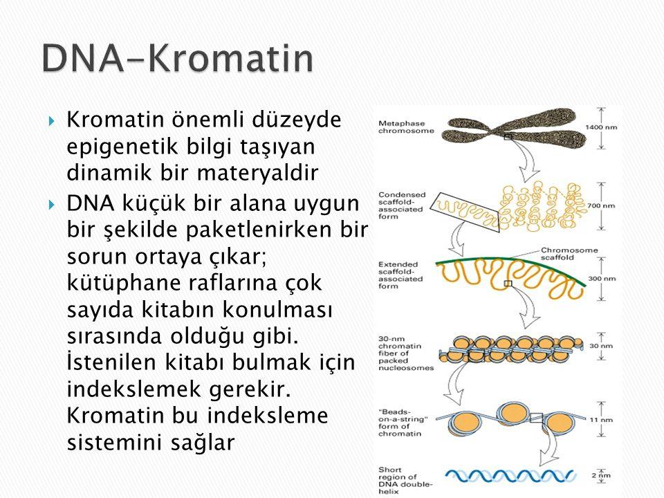 DNA-Kromatin Kromatin önemli düzeyde epigenetik bilgi taşıyan dinamik bir materyaldir.