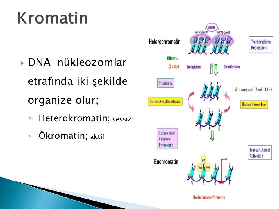 Kromatin DNA nükleozomlar etrafında iki şekilde organize olur;