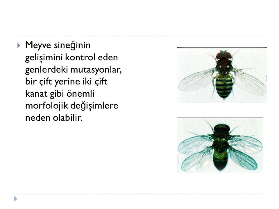 Meyve sineğinin gelişimini kontrol eden genlerdeki mutasyonlar, bir çift yerine iki çift kanat gibi önemli morfolojik değişimlere neden olabilir.