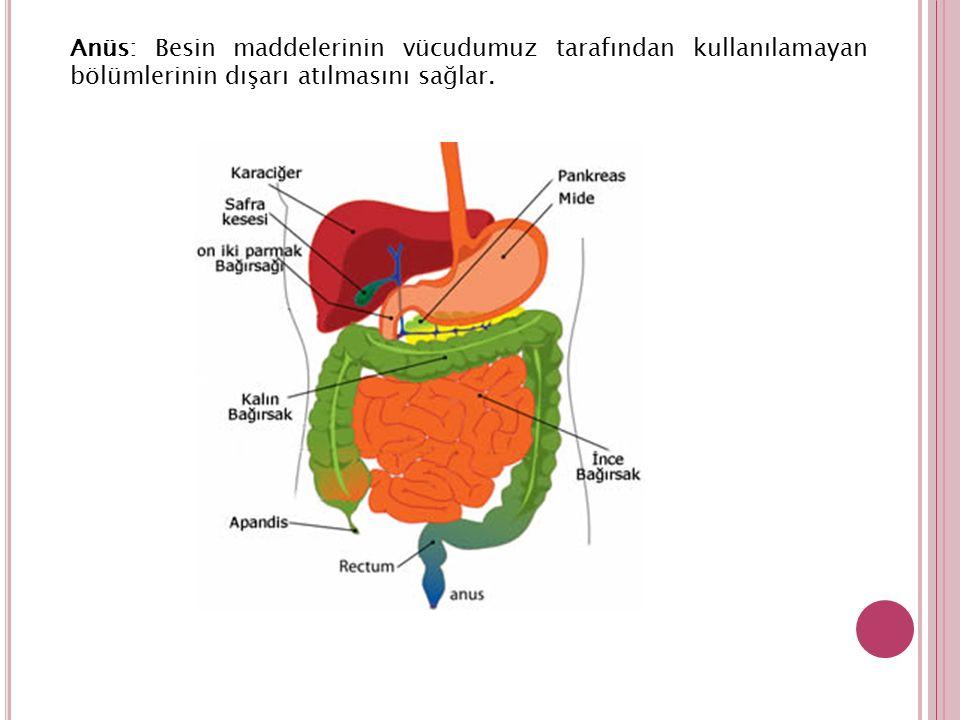 Anüs: Besin maddelerinin vücudumuz tarafından kullanılamayan bölümlerinin dışarı atılmasını sağlar.