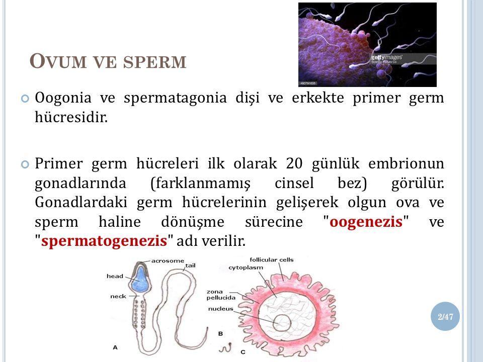 Ovum ve sperm Oogonia ve spermatagonia dişi ve erkekte primer germ hücresidir.