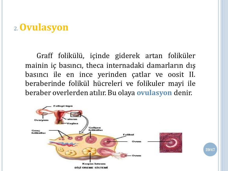 2. Ovulasyon