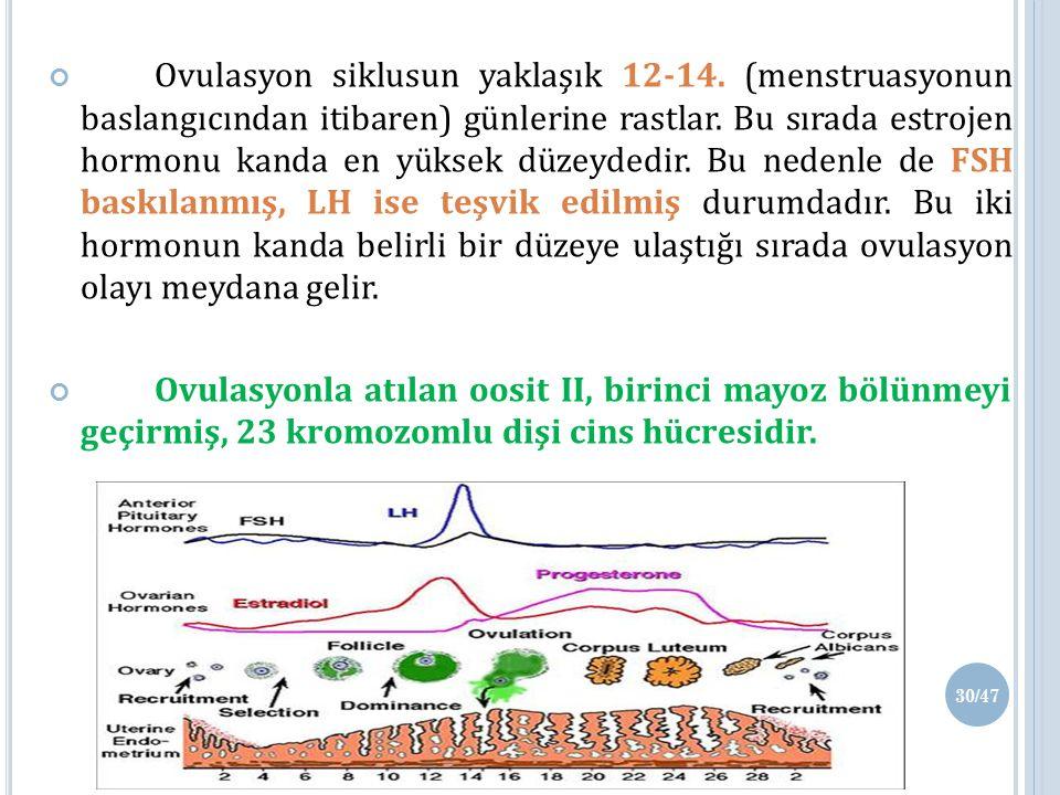 Ovulasyon siklusun yaklaşık 12-14