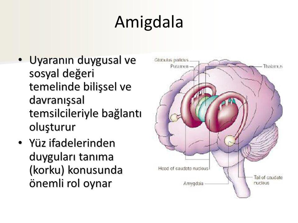 Amigdala Uyaranın duygusal ve sosyal değeri temelinde bilişsel ve davranışsal temsilcileriyle bağlantı oluşturur.
