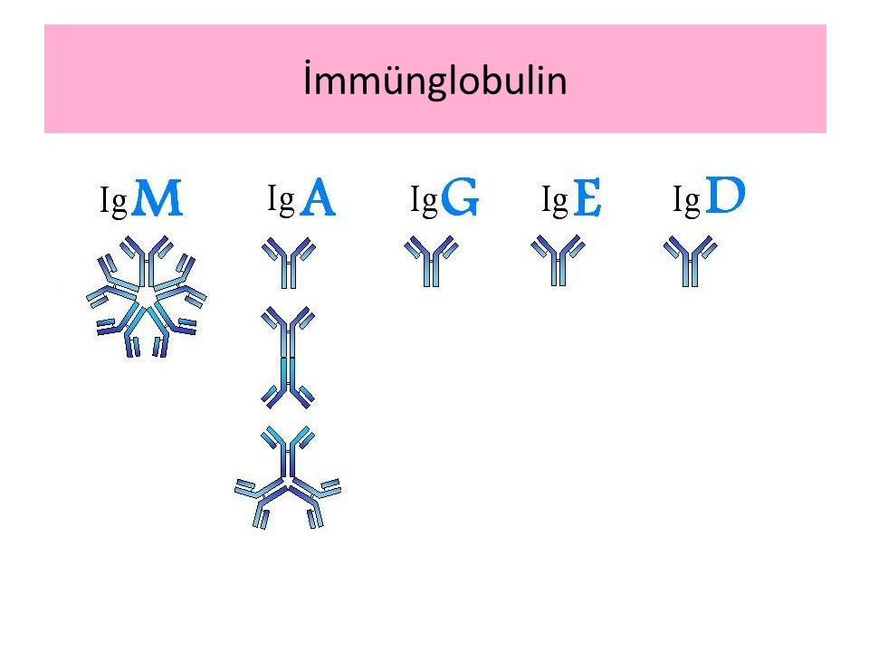 İmmünglobulin