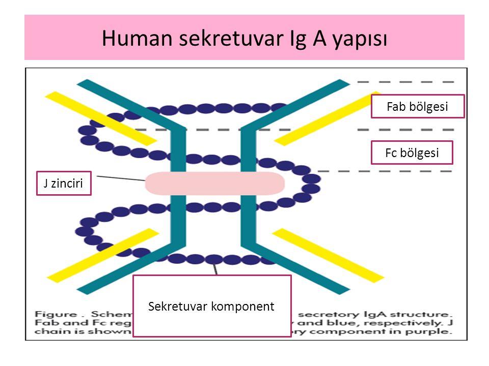 Human sekretuvar Ig A yapısı