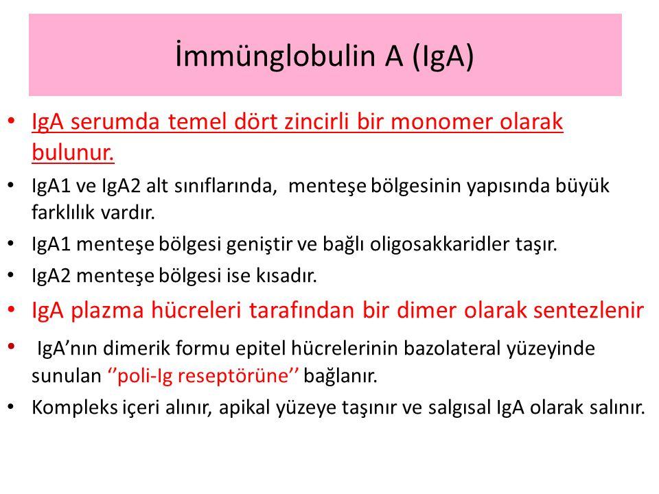 İmmünglobulin A (IgA) IgA serumda temel dört zincirli bir monomer olarak bulunur.