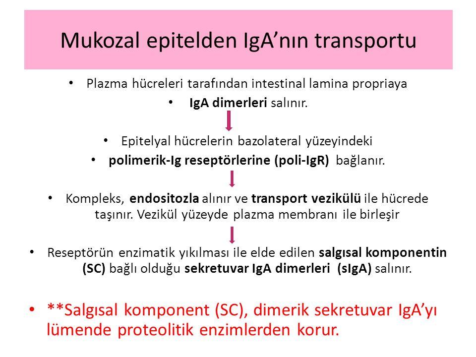 Mukozal epitelden IgA'nın transportu