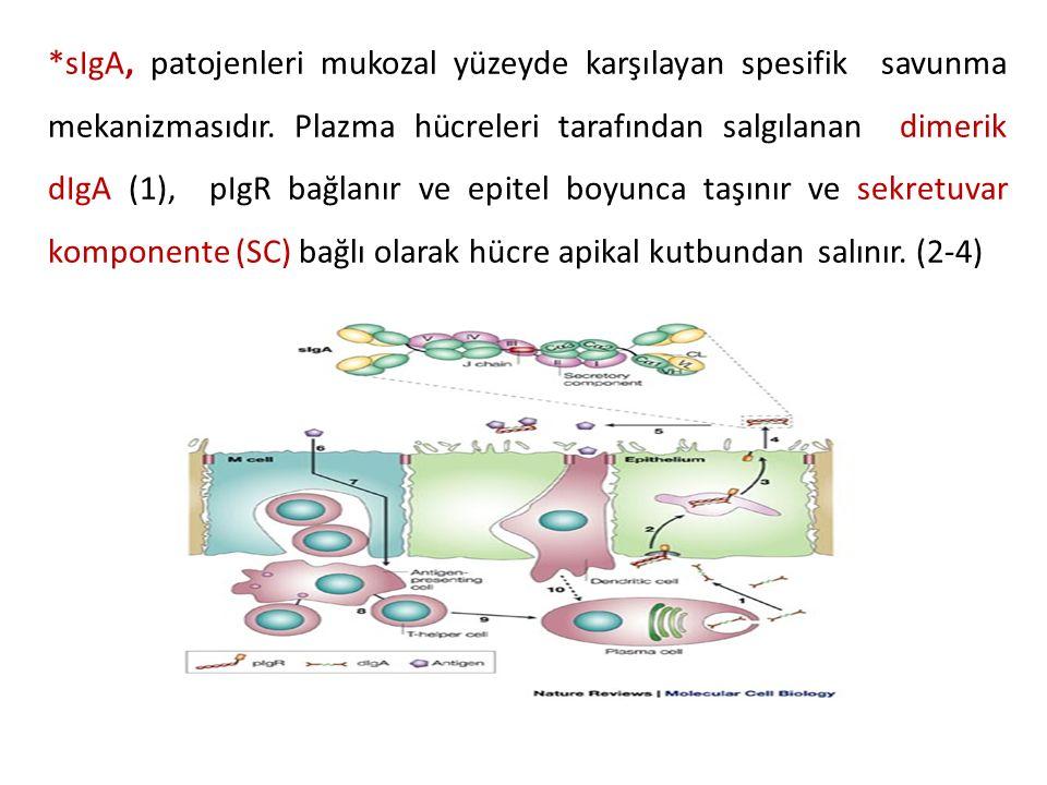 *sIgA, patojenleri mukozal yüzeyde karşılayan spesifik savunma mekanizmasıdır.