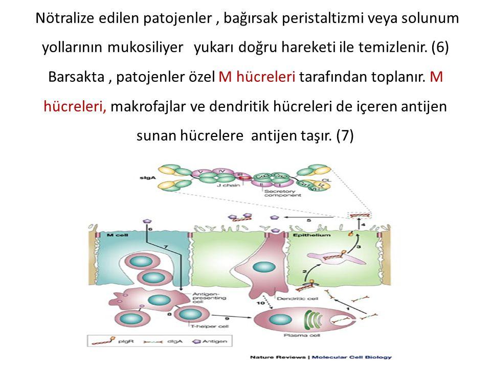 Nötralize edilen patojenler , bağırsak peristaltizmi veya solunum yollarının mukosiliyer yukarı doğru hareketi ile temizlenir.
