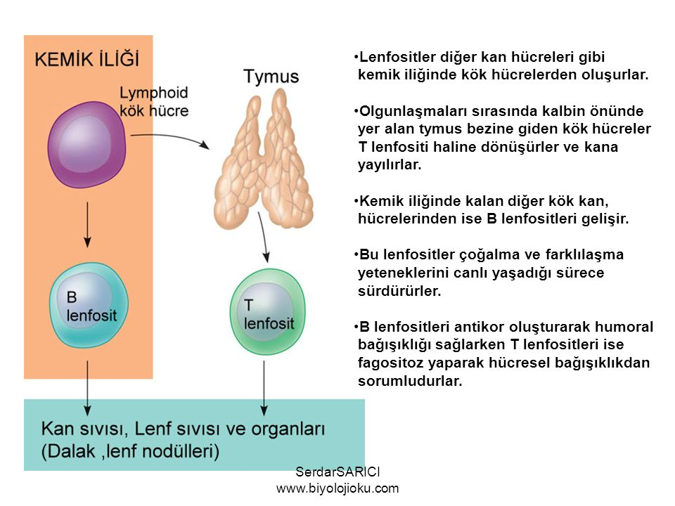 SerdarSARICI www.biyolojioku.com