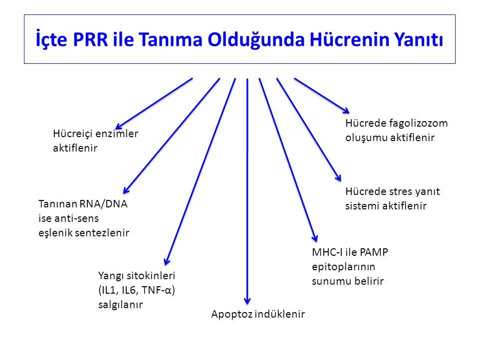 İçte PRR ile Tanıma Olduğunda Hücrenin Yanıtı