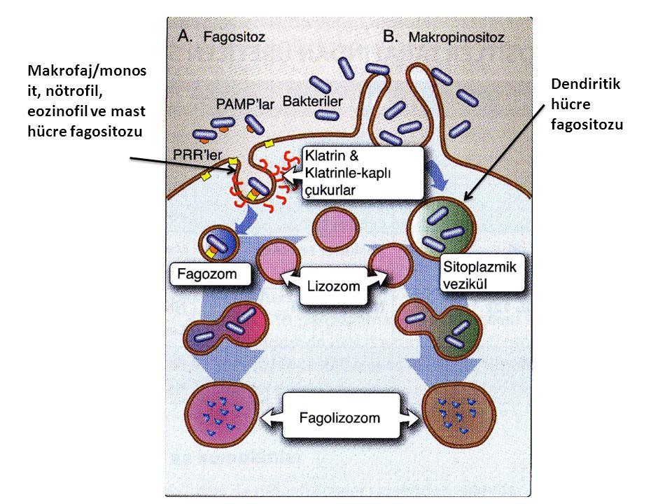 Makrofaj/monosit, nötrofil, eozinofil ve mast hücre fagositozu