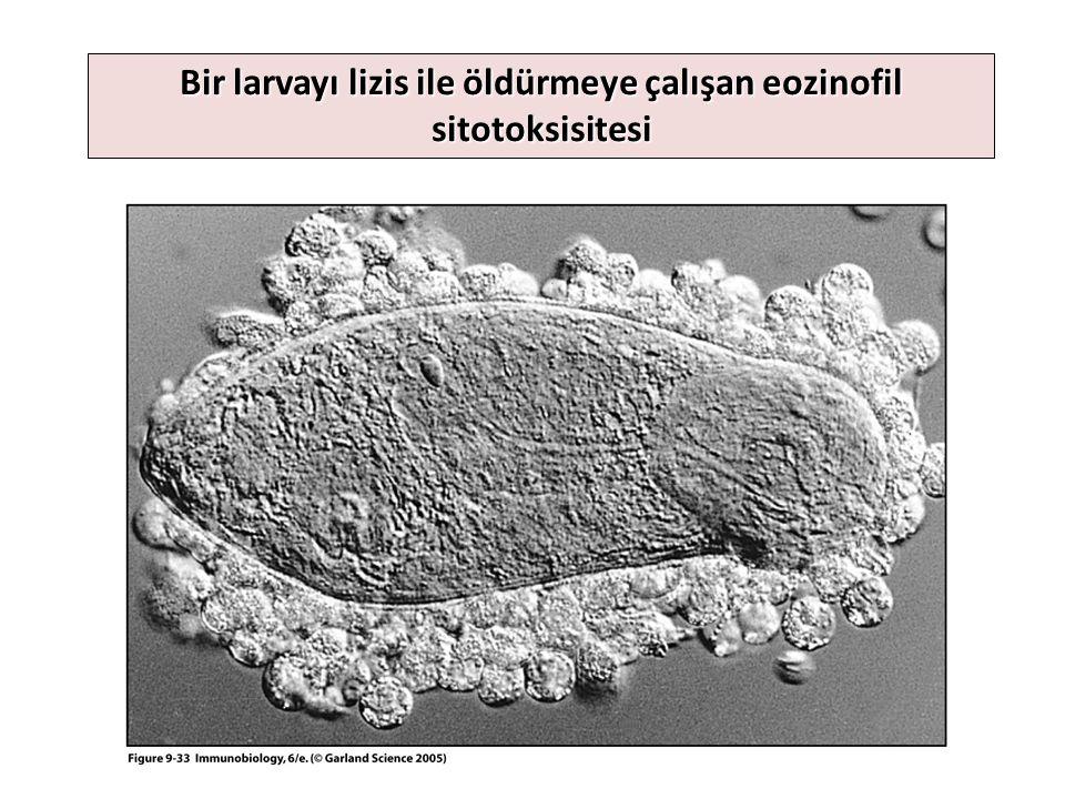 Bir larvayı lizis ile öldürmeye çalışan eozinofil sitotoksisitesi