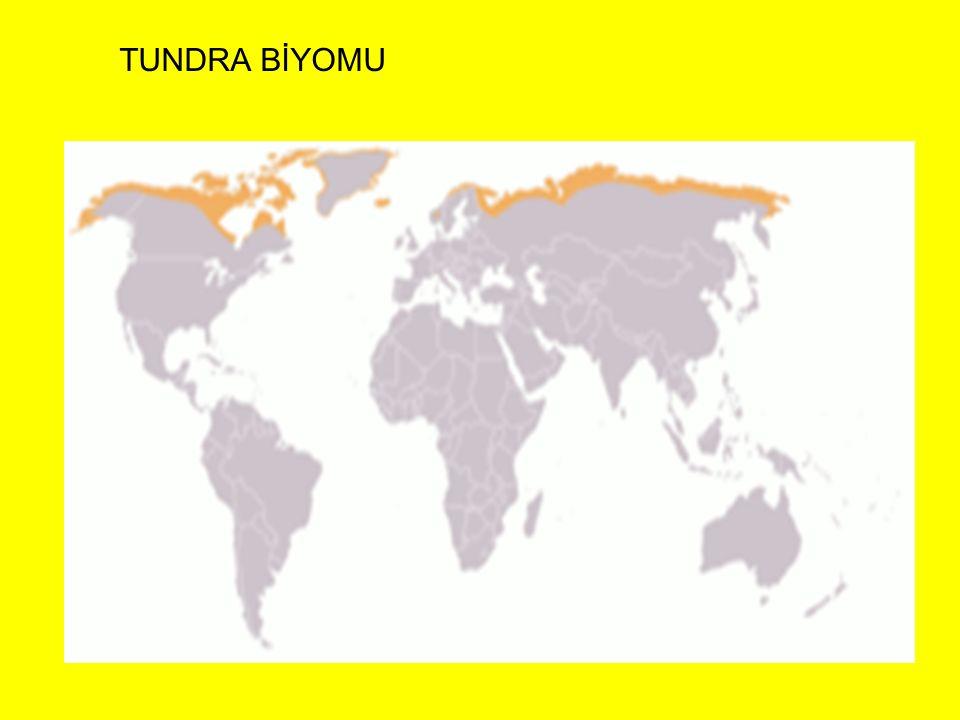 TUNDRA BİYOMU