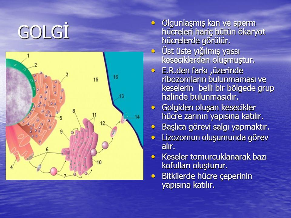 GOLGİ Olgunlaşmış kan ve sperm hücreleri hariç bütün ökaryot hücrelerde görülür. Üst üste yığılmış yassı keseciklerden oluşmuştur.