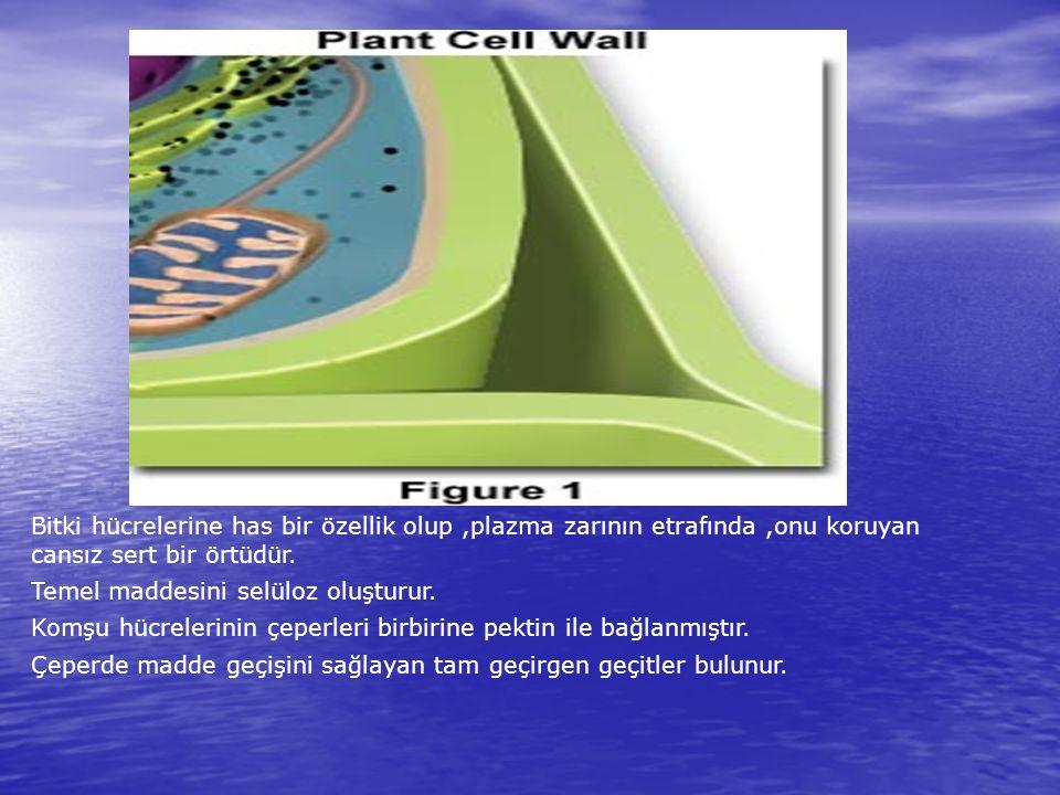 Bitki hücrelerine has bir özellik olup ,plazma zarının etrafında ,onu koruyan cansız sert bir örtüdür.