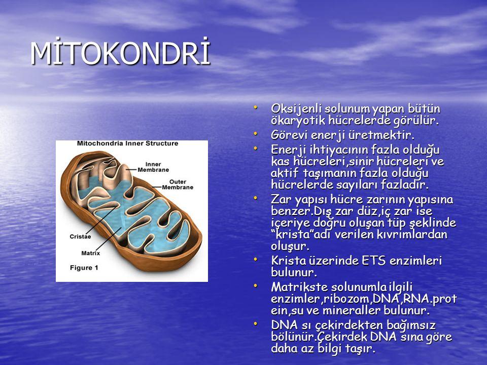 MİTOKONDRİ Oksijenli solunum yapan bütün ökaryotik hücrelerde görülür.
