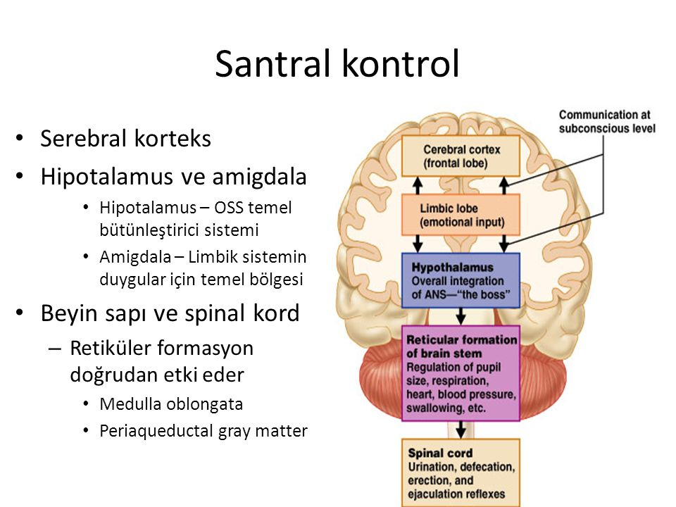 Santral kontrol Serebral korteks Hipotalamus ve amigdala
