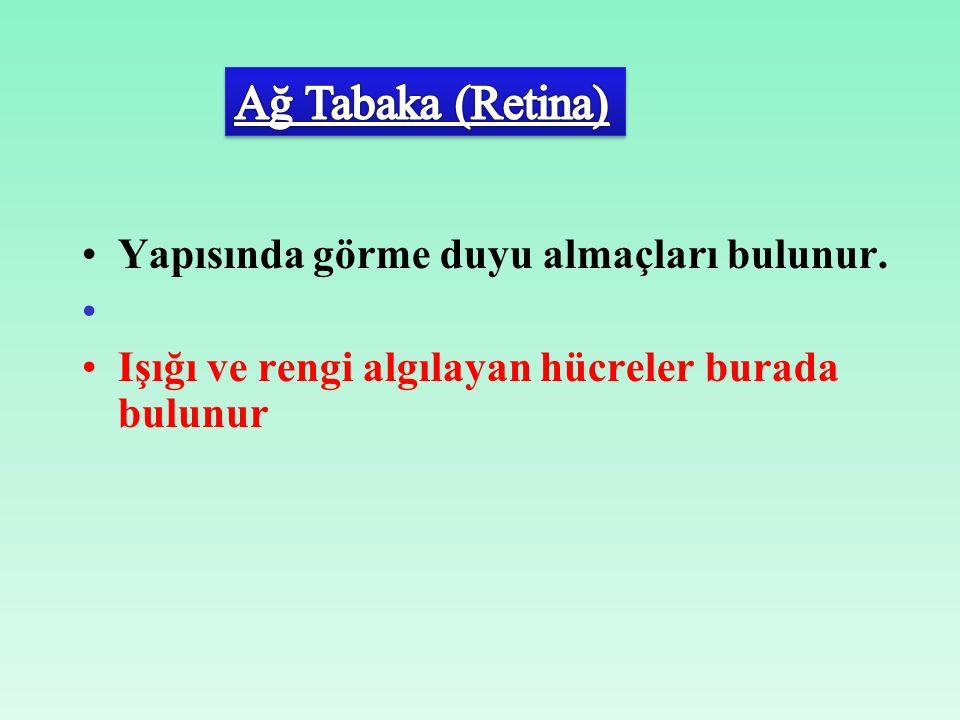 Ağ Tabaka (Retina) Yapısında görme duyu almaçları bulunur.