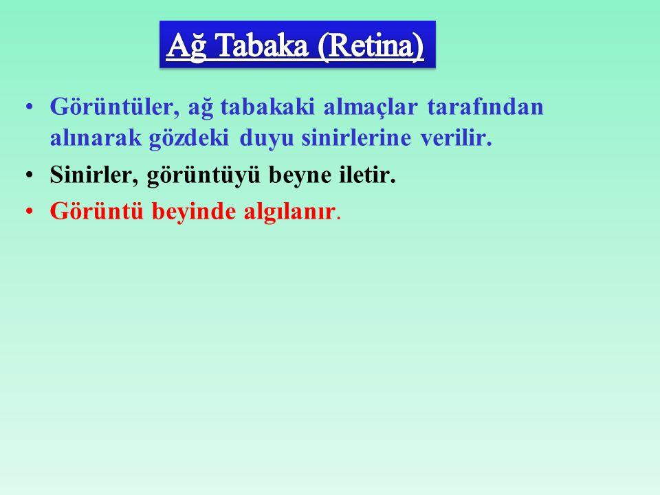 Ağ Tabaka (Retina) Görüntüler, ağ tabakaki almaçlar tarafından alınarak gözdeki duyu sinirlerine verilir.