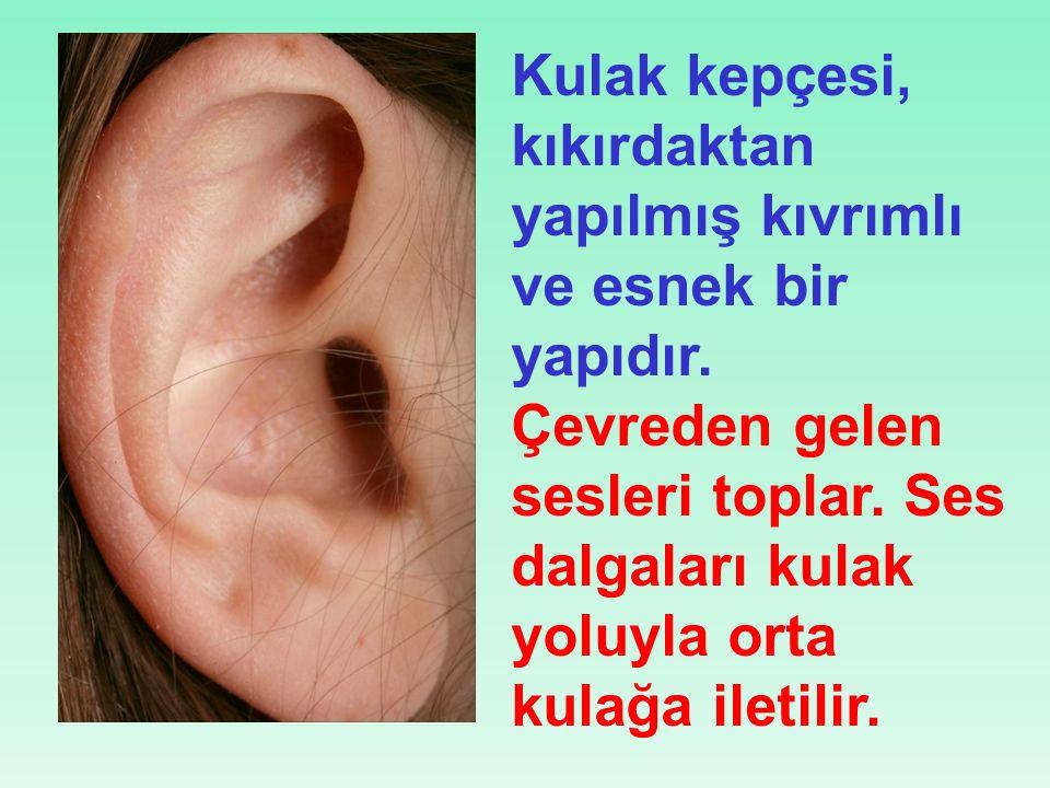 Kulak kepçesi, kıkırdaktan yapılmış kıvrımlı ve esnek bir yapıdır.