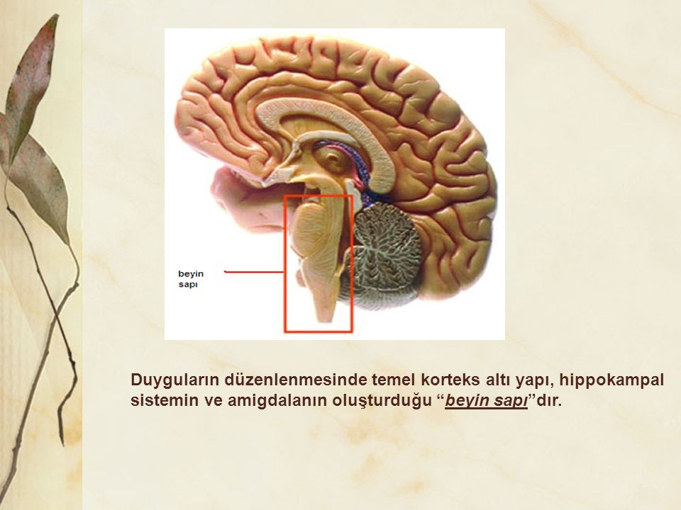 Duyguların düzenlenmesinde temel korteks altı yapı, hippokampal