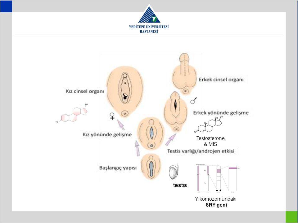 Testosterone & MIS testis Y komozomundaki SRY geni