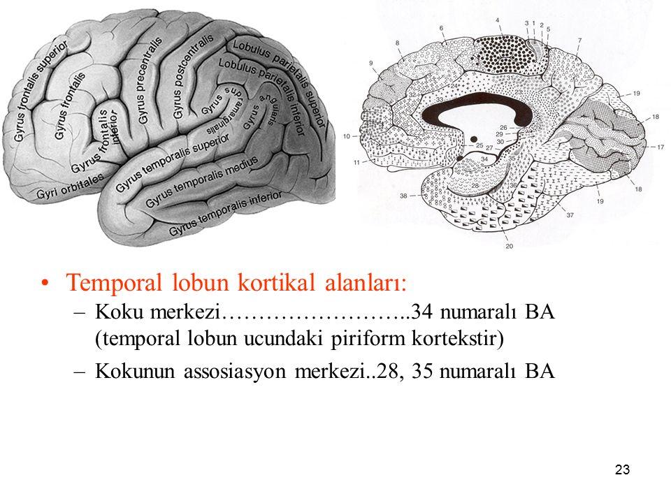 a Temporal lobun kortikal alanları: