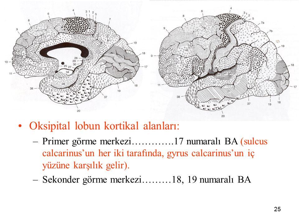 a Oksipital lobun kortikal alanları: